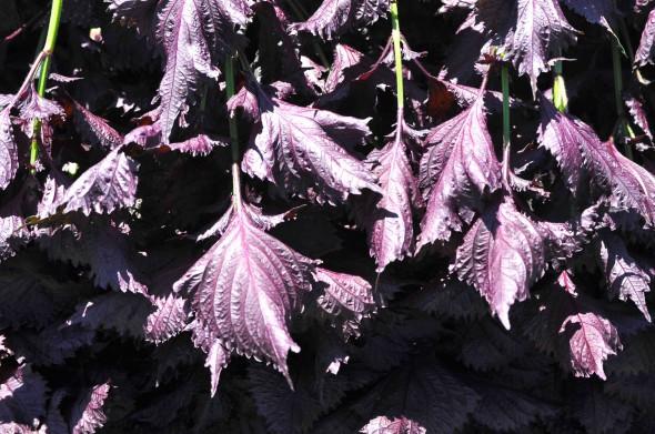 このツヤ!輝く赤紫蘇です。