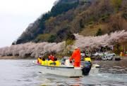 海津の桜 4